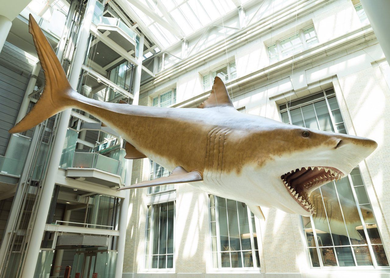 Hanging shark at Smithsonian's National Museum of Natural History
