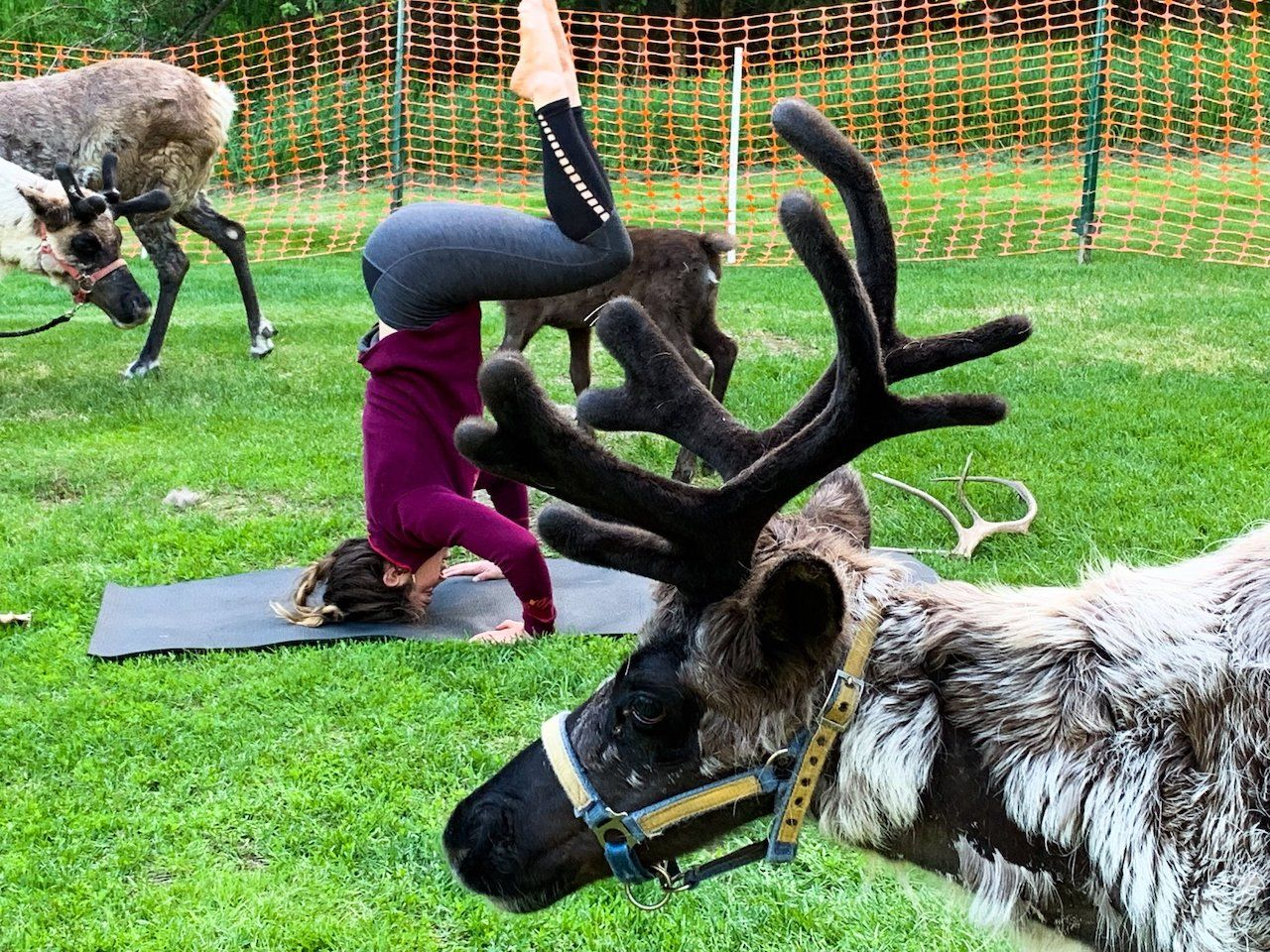 People doing yoga with reindeer at Running Reindeer Ranch, Alaska