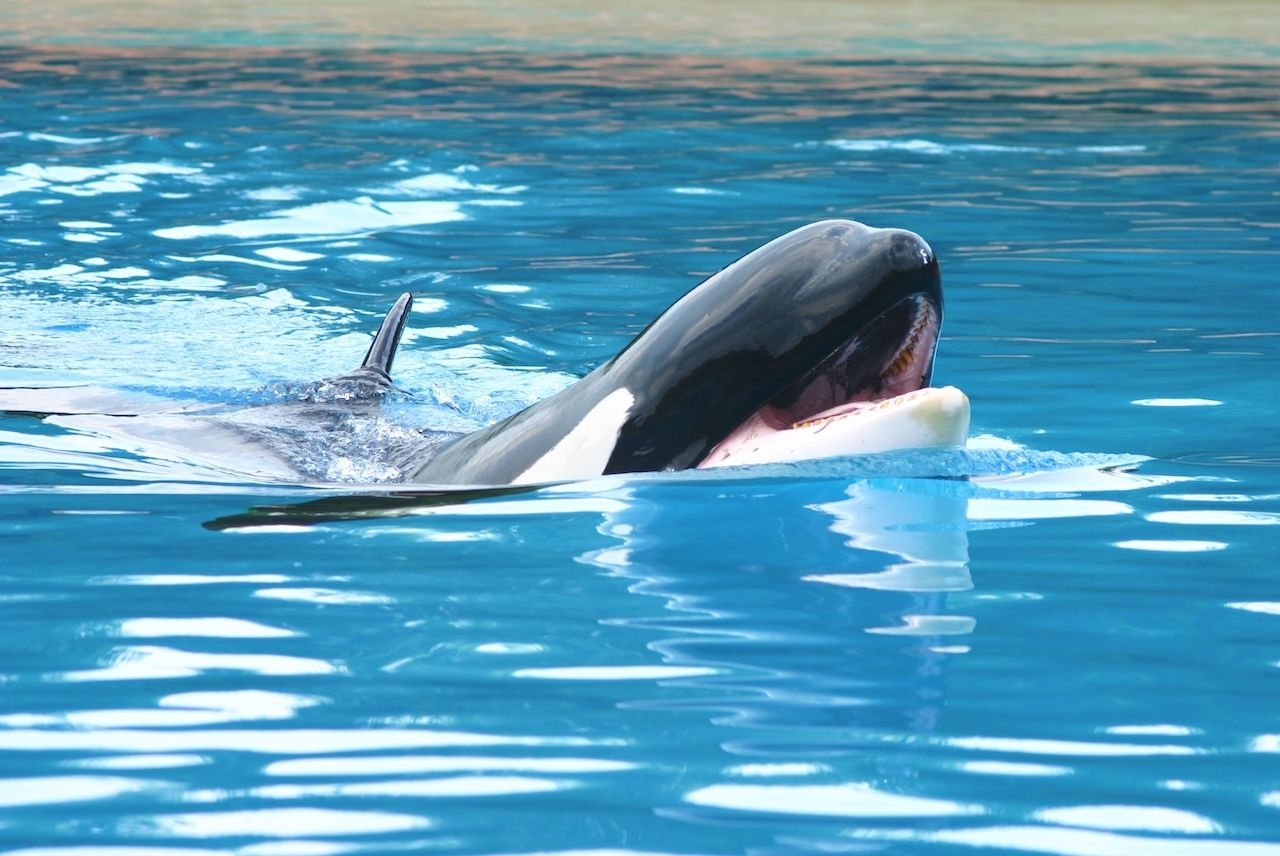 Willy has finally been set free.. The post Canada announces ban on dolphin, porpoise, and whale captivity appeared first on Matador Network..