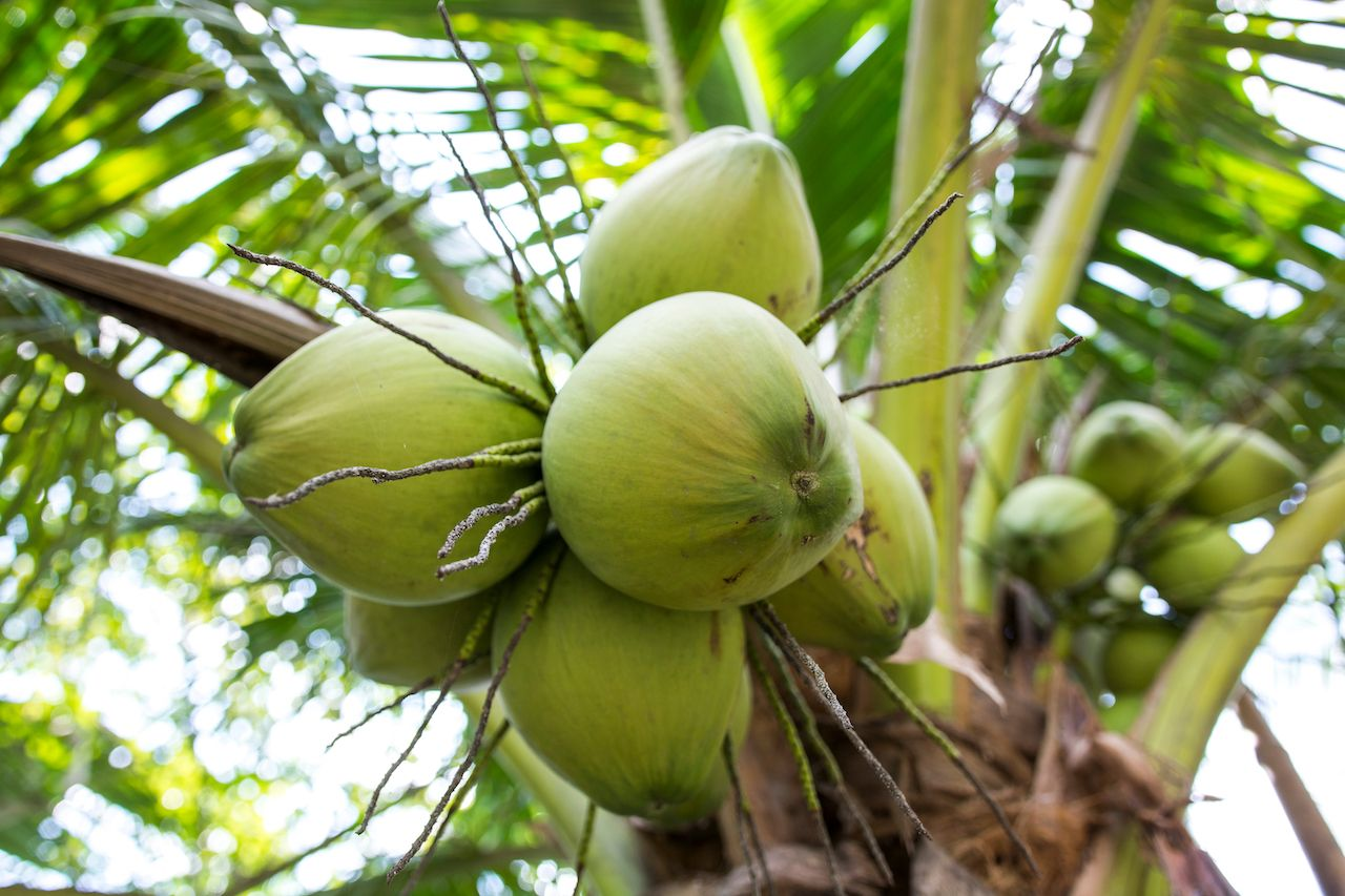 Bunch of coconuts on a tree in Mekong Delta Vietnam