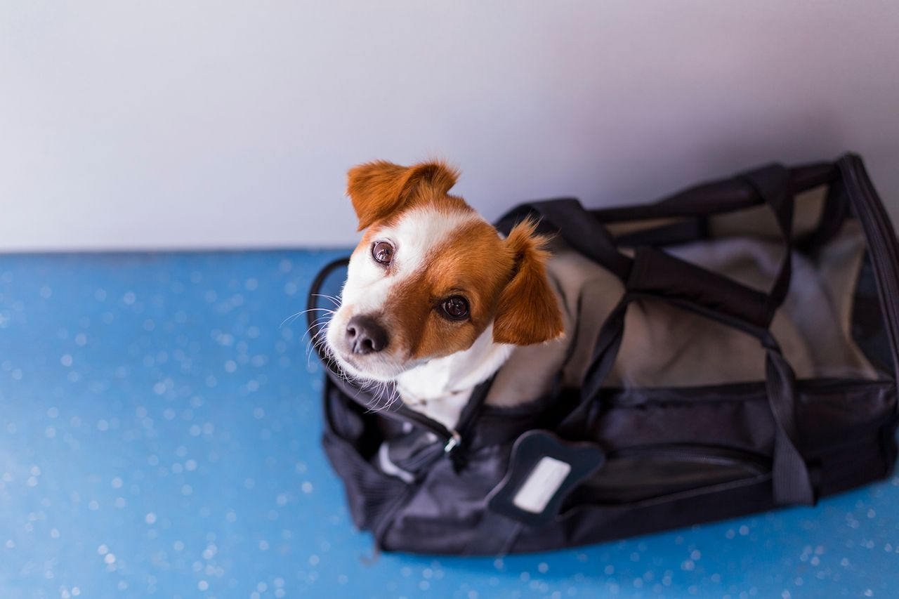 Dog in a carrier