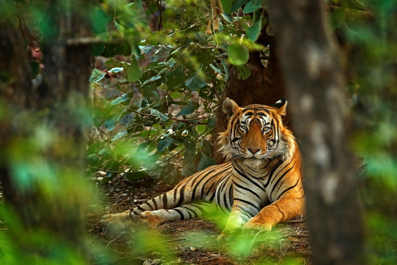 Indian tiger male