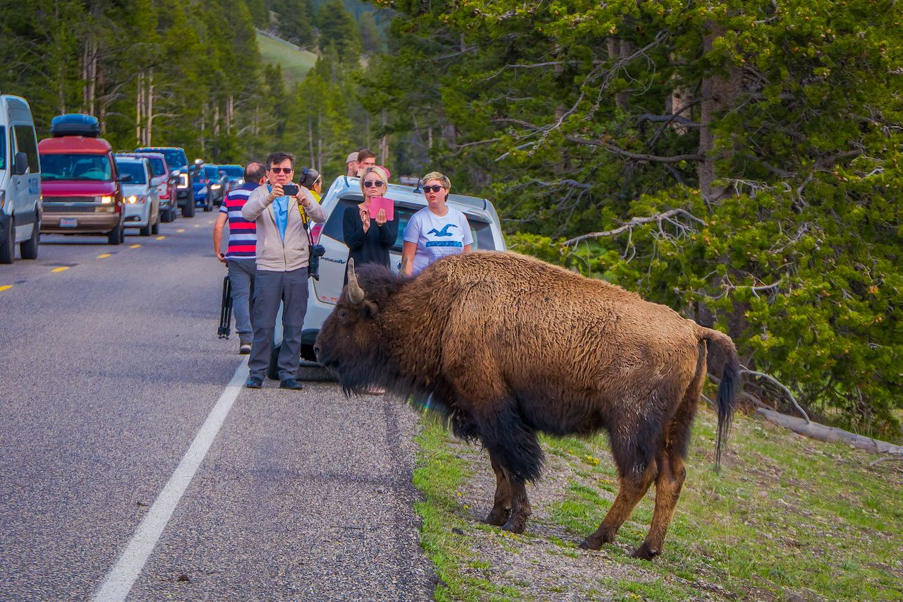 People taking photos of a bison