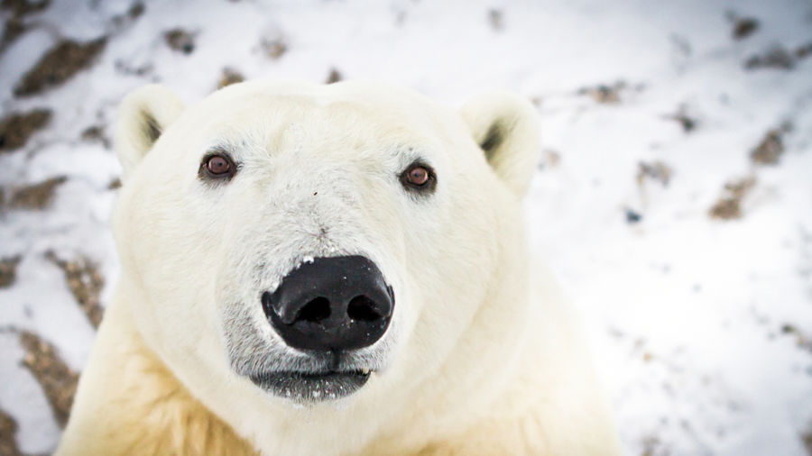 3 spectacular seasons of Churchill, Manitoba: When to see polar bears, beluga whales, and the Northern Lights