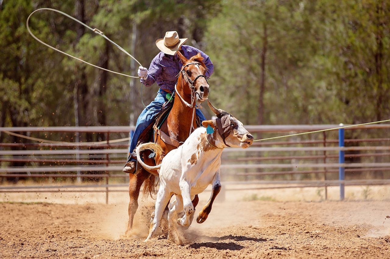 A cowboy riding a horse trying to lasso a running calf