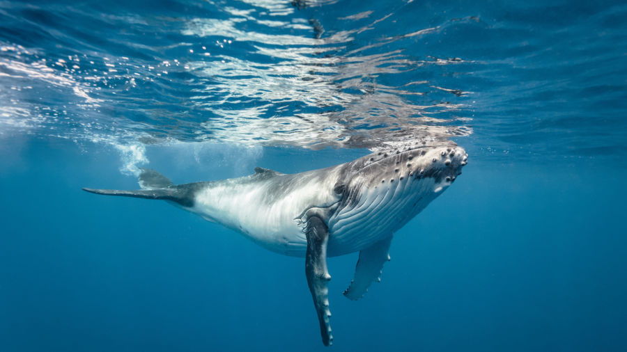 The songs of humpback whales tell us where they've traveled