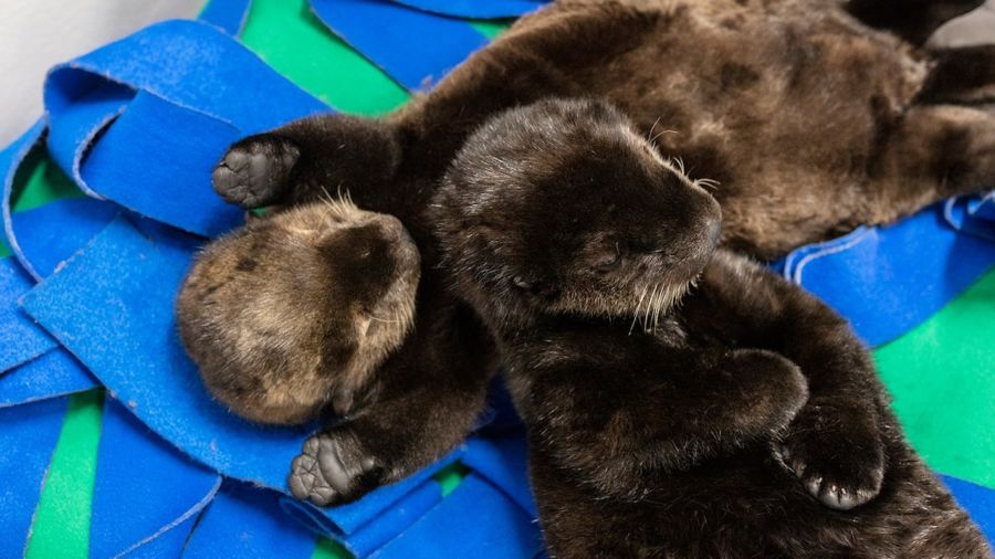 This aquarium needs your help naming two adorable otter pups