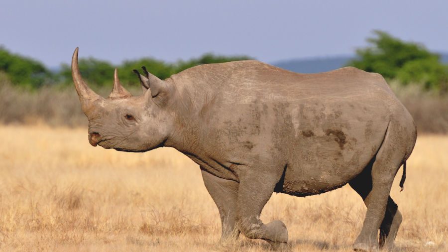 US to allow trophy hunter to import body parts of critically endangered rhino