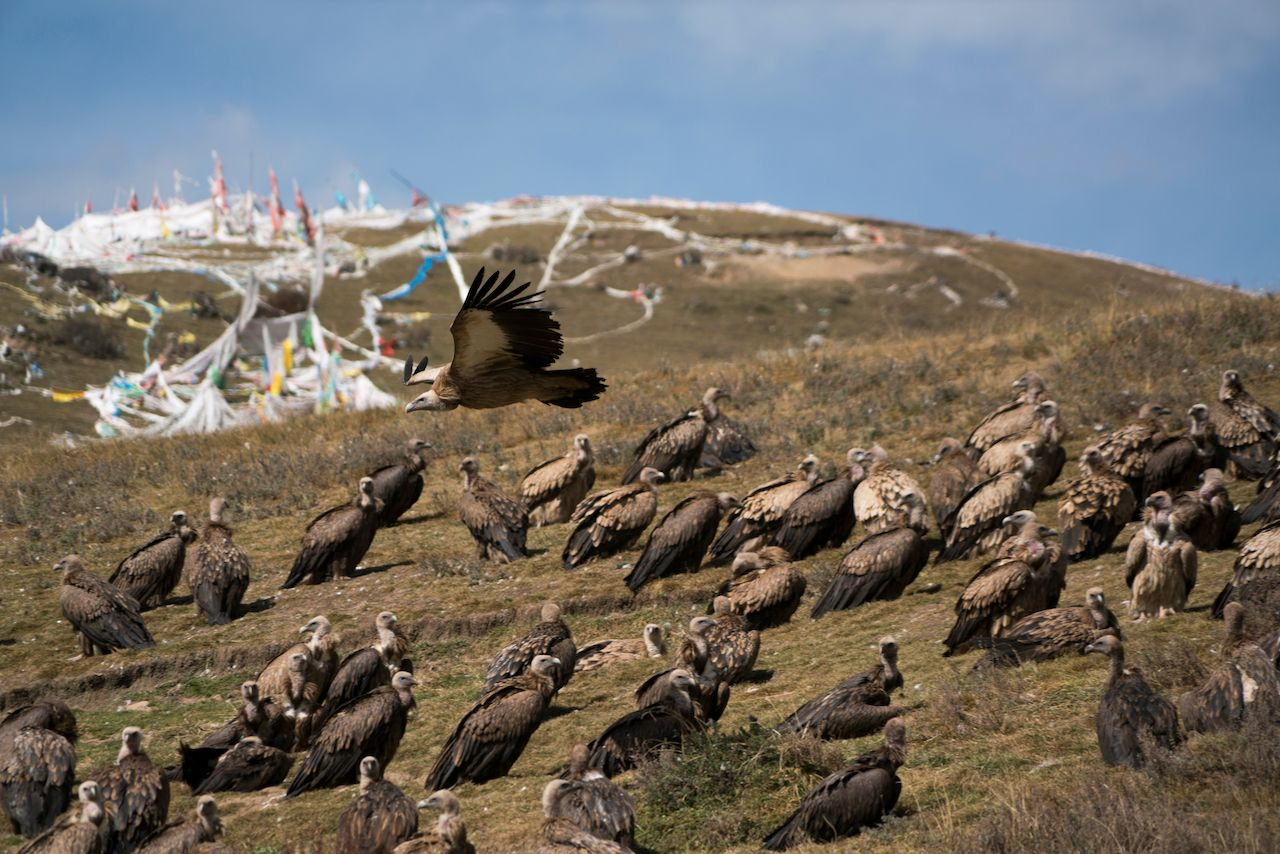 Himalayan vultures of seda during a Tibetan sky burial ritual