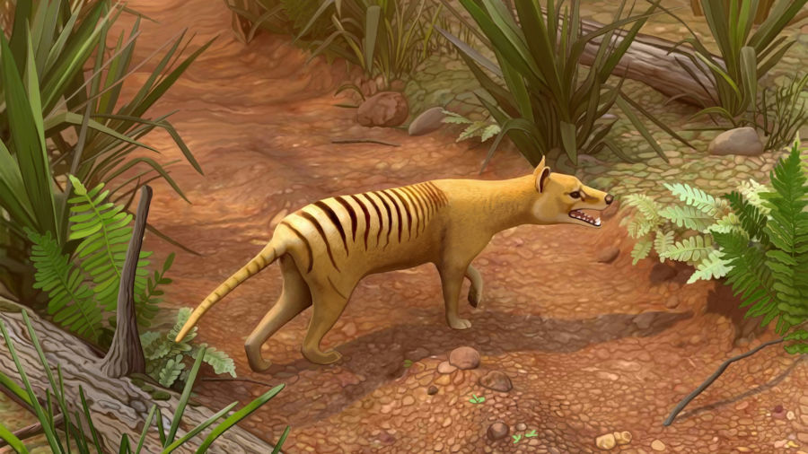 Several sightings of the extinct Tasmanian tiger have been reported in Australia