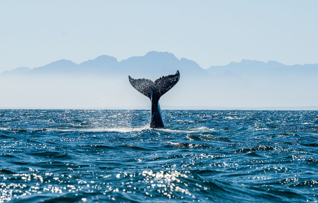 Whales back from near extinction