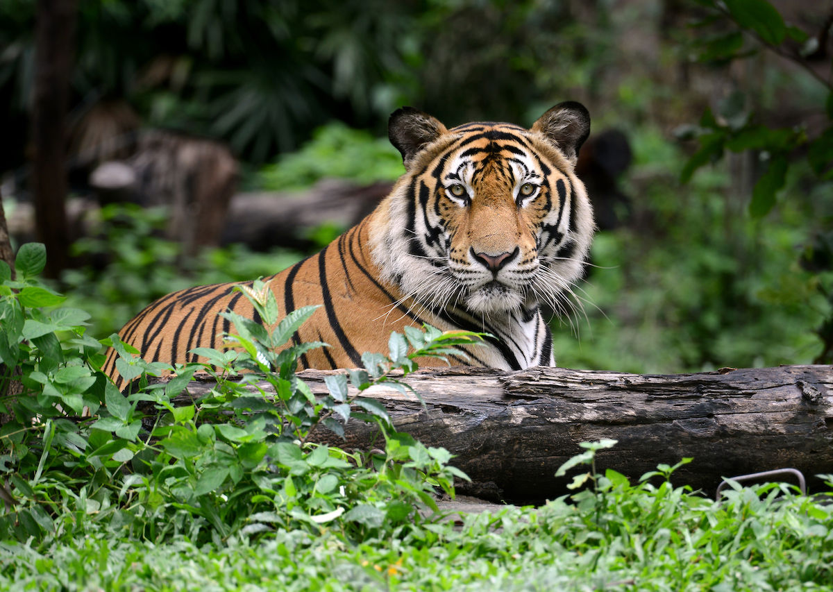 The best tiger-spotting in India