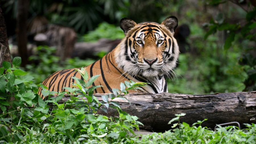 India is the best place to see tigers in the wild, thanks to conservation efforts