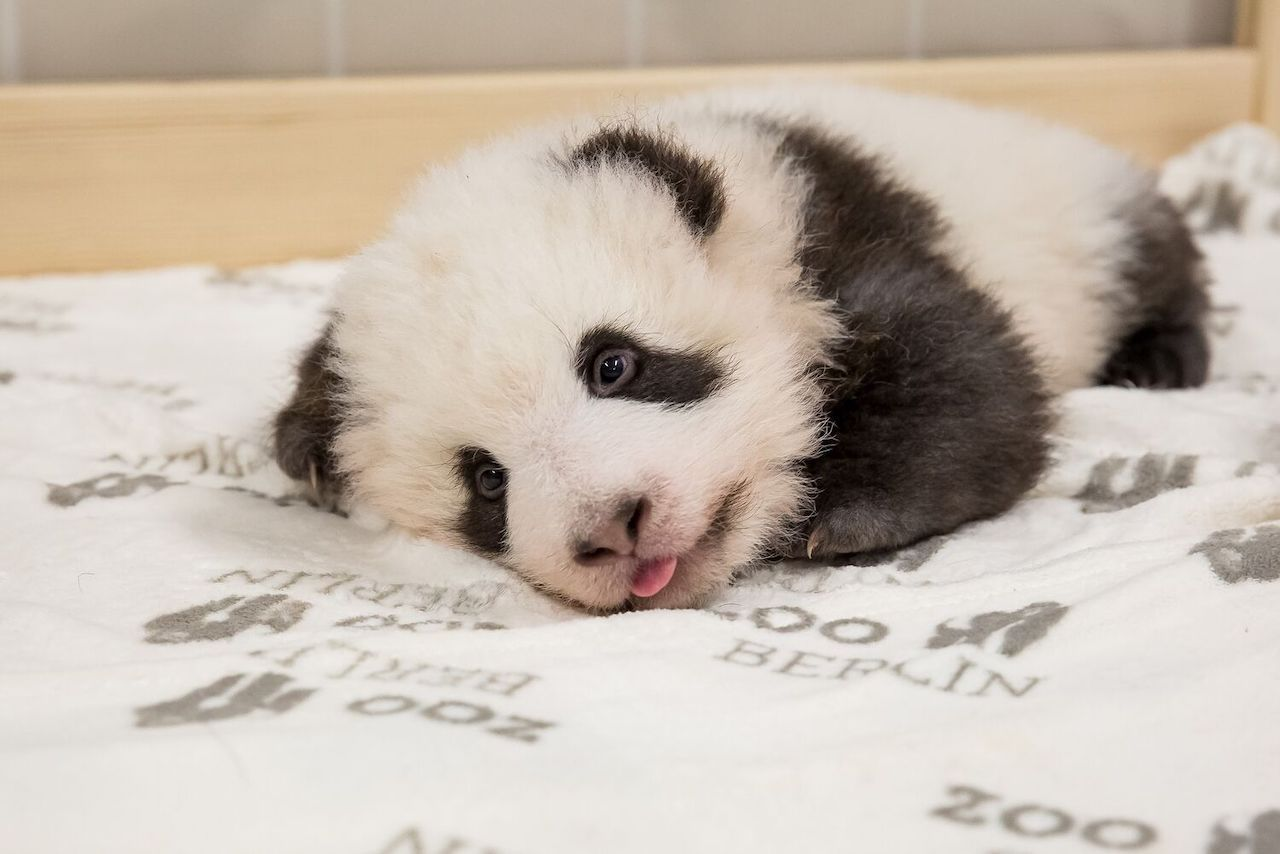 Baby panda lying down