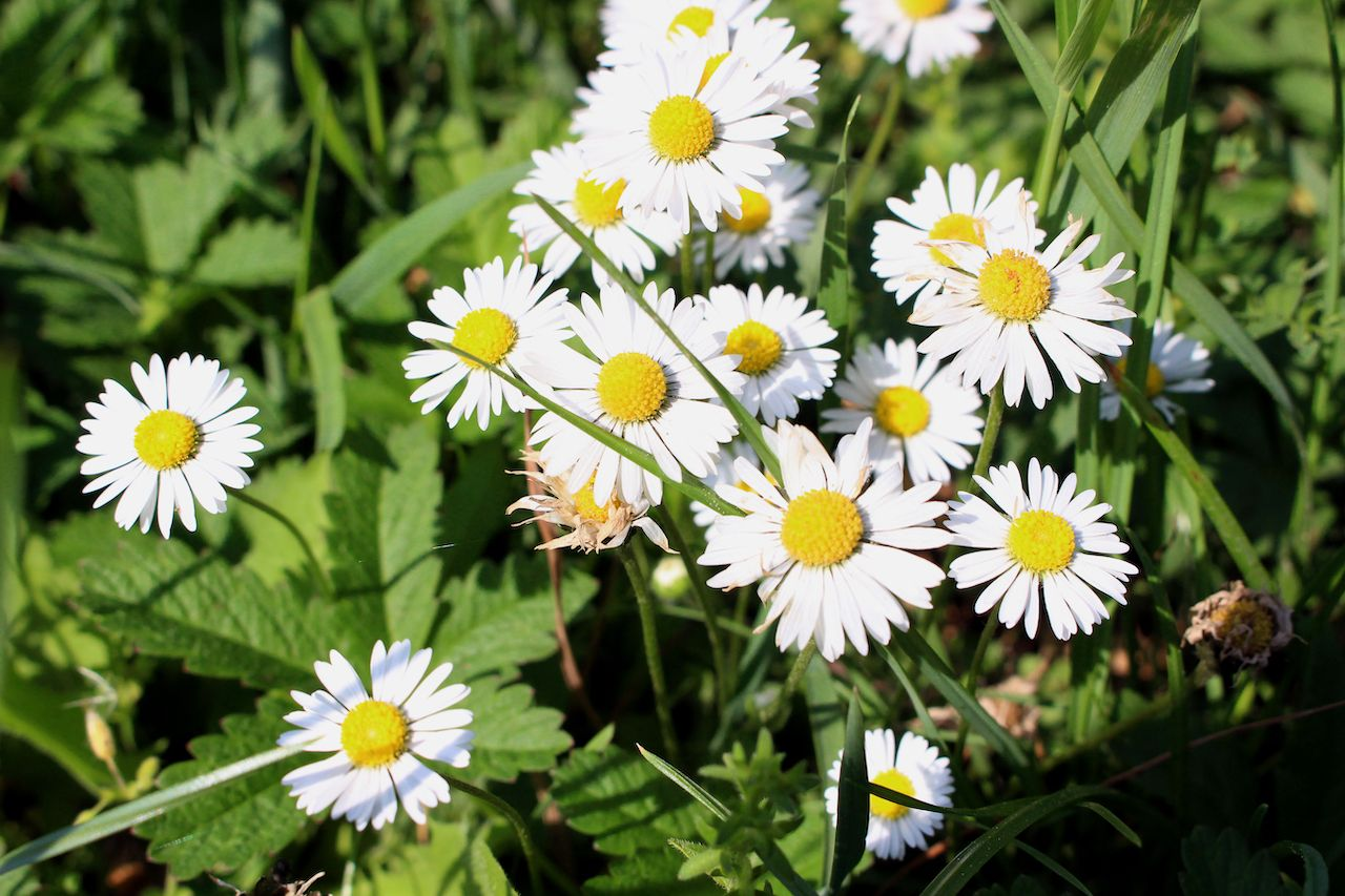 Meadow of flowers the ucanthemum vulgare, oxeye daisy