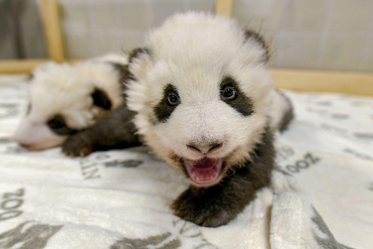 Panda in Berlin