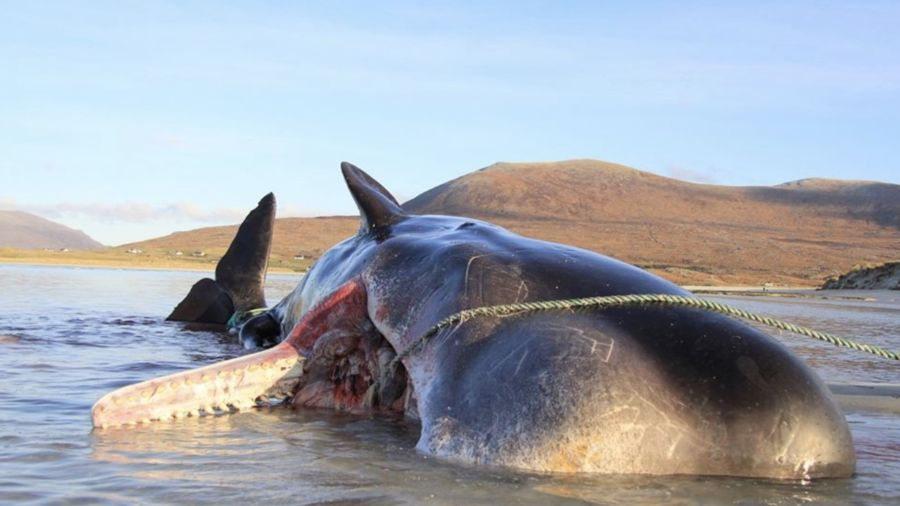 220 pounds of trash found inside dead whale in Scotland