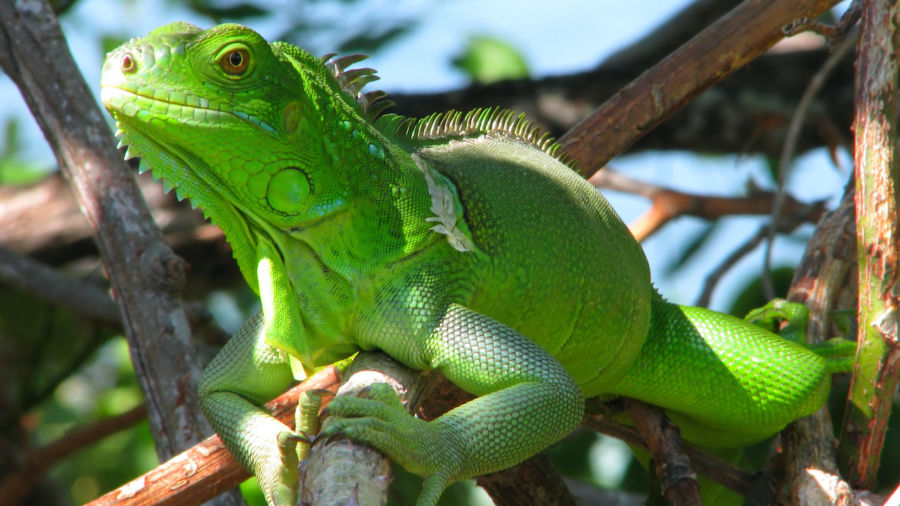Watch out for falling iguanas, warns National Weather Service