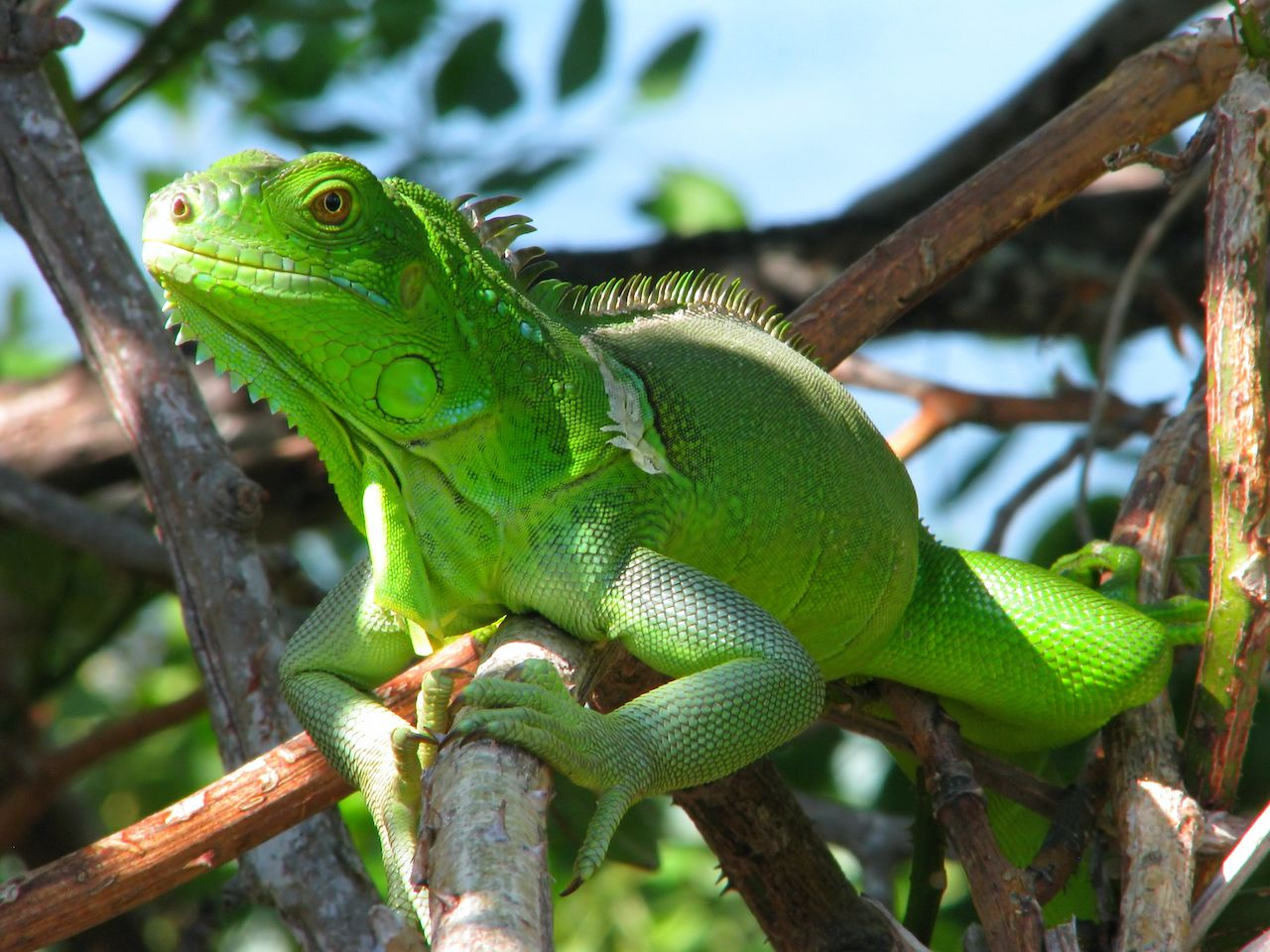 Iguanas fall from trees in Florida