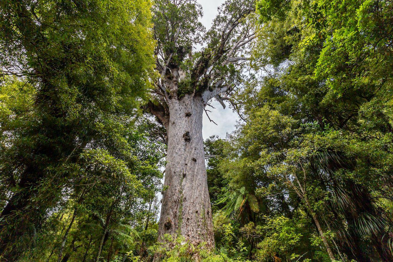 Hikers killing kauri trees