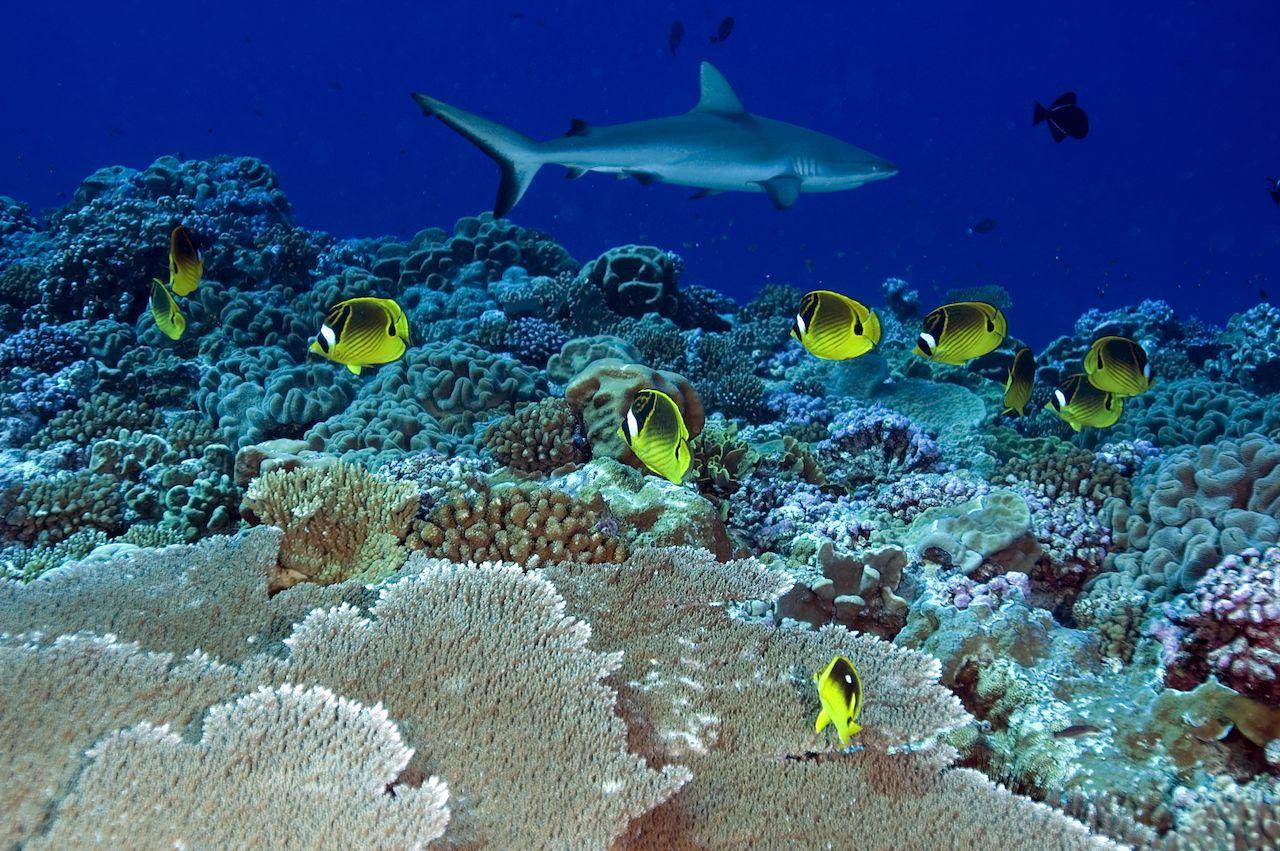 Racoon butterflyfishes, Chaetodon lunula, in Kingman Reef