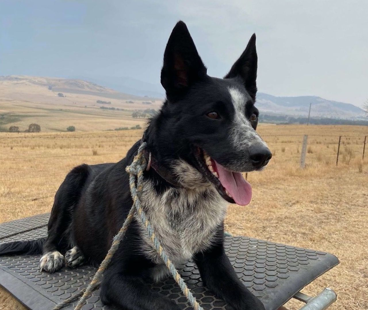 Dog saves sheep from Australian fire