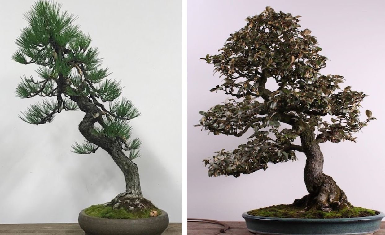 Stolen bonsai trees returned