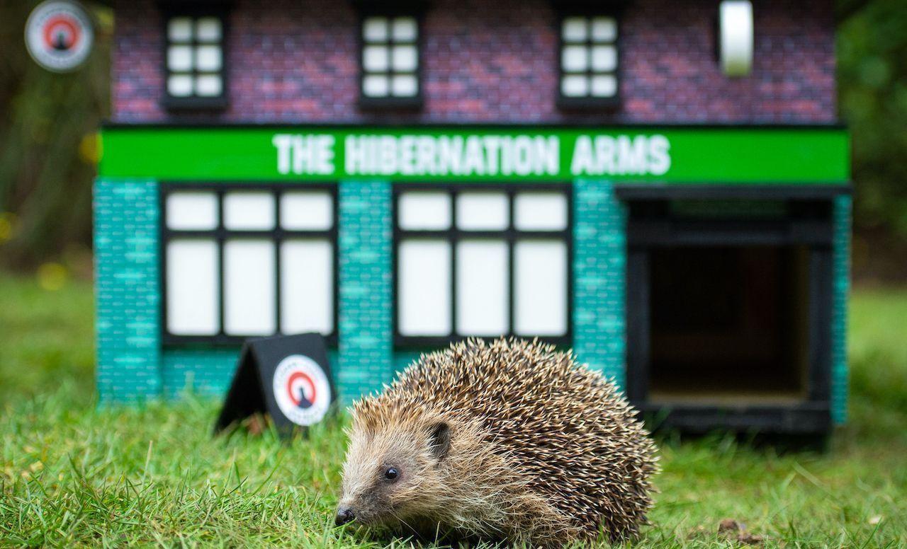 Tiny hedgehog pubs