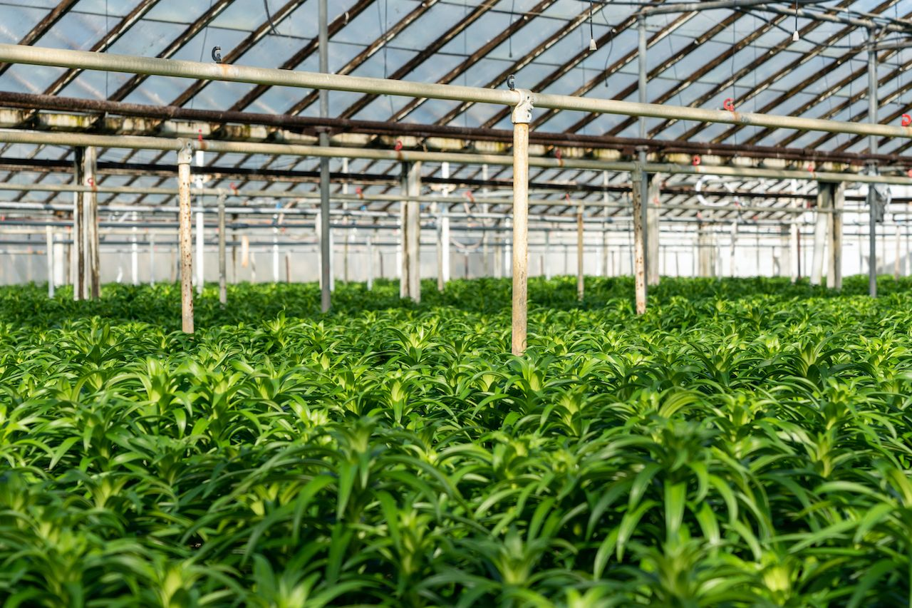 Rows of Easter lily plants