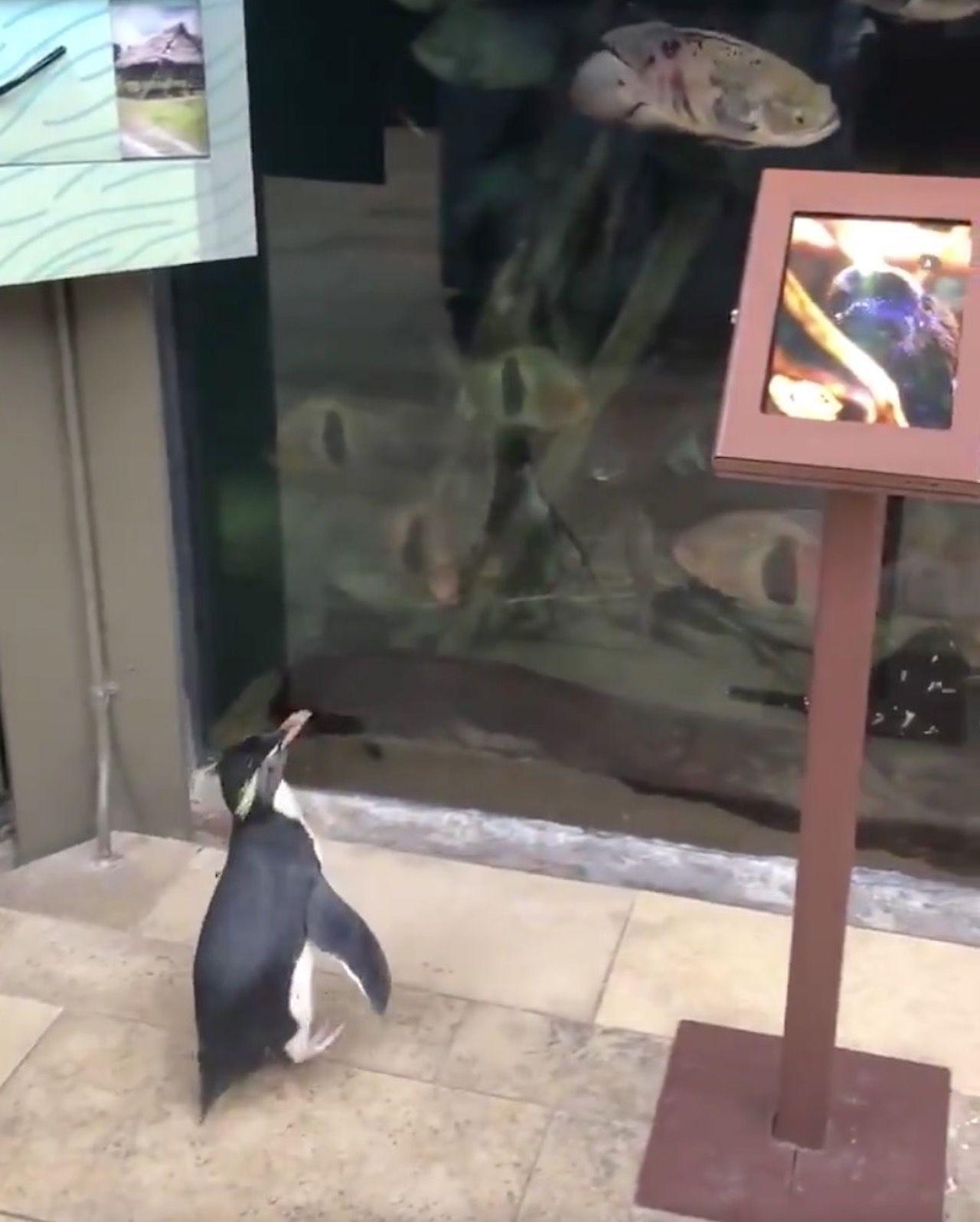 Chicago aquarium let penguins roam