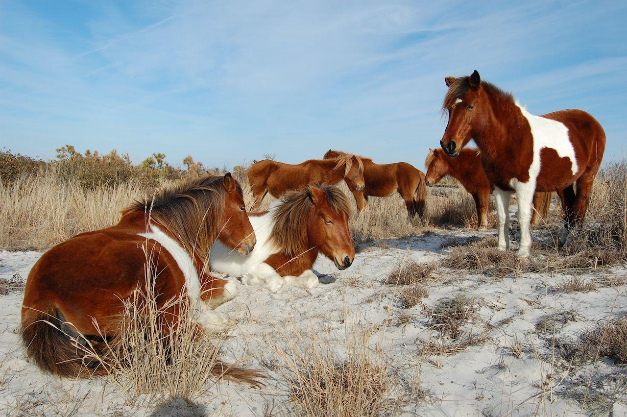 A herd of wild horses sunning on the dunes of Assateague Island