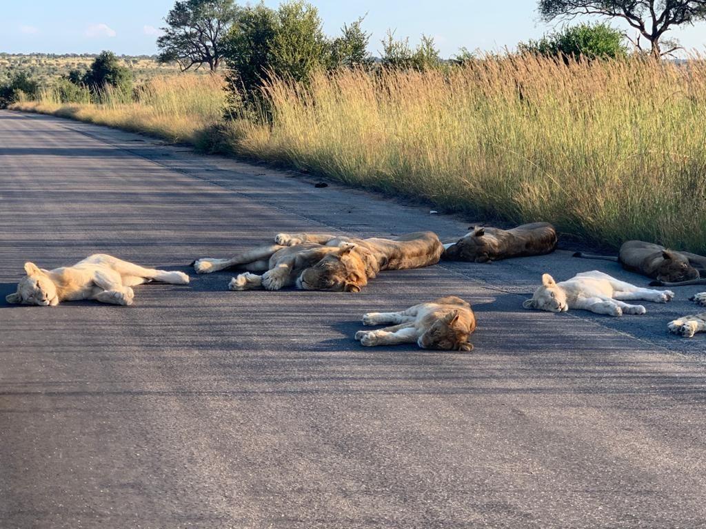 Lion sleeping on roads in Kruger NP