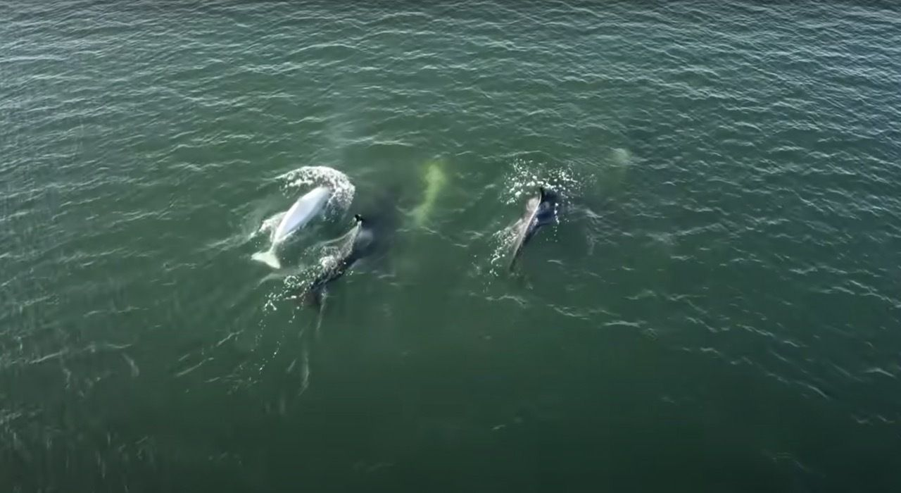 """The animal is named Tl'uk, meaning """"bright moon."""". The post Extraordinary rare white orca spotted in the Puget Sound, Washington appeared first on Matador Network.."""