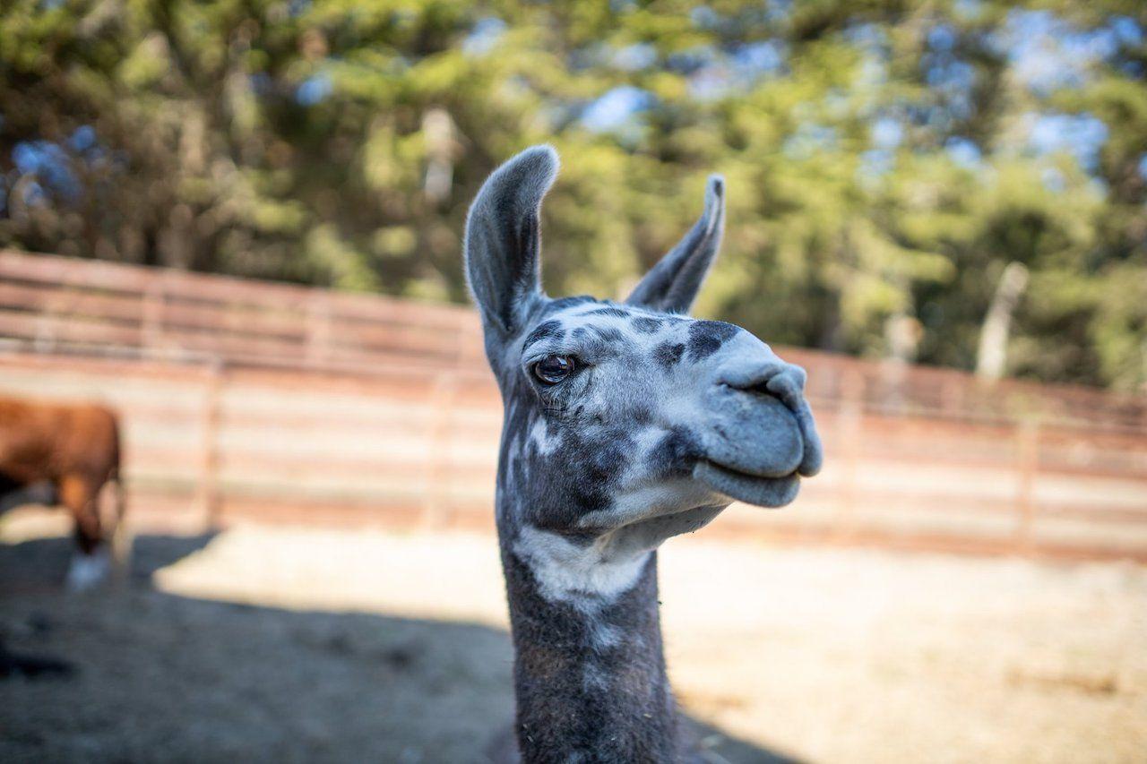 Sweet Farm llama