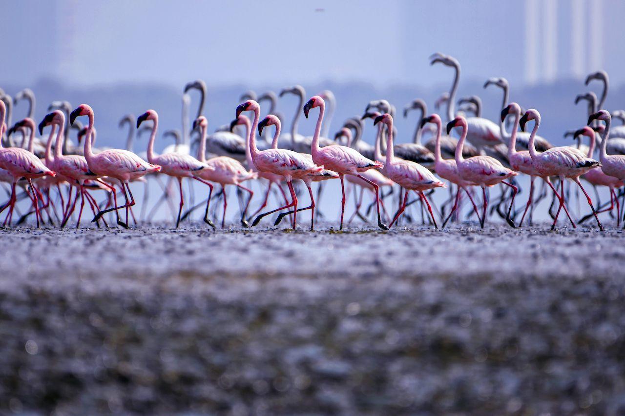 Flamingos descend on Mumbai
