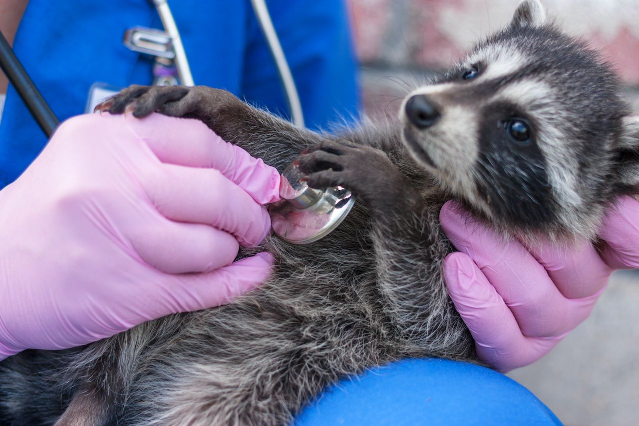 Vet examines raccoon stethoscope