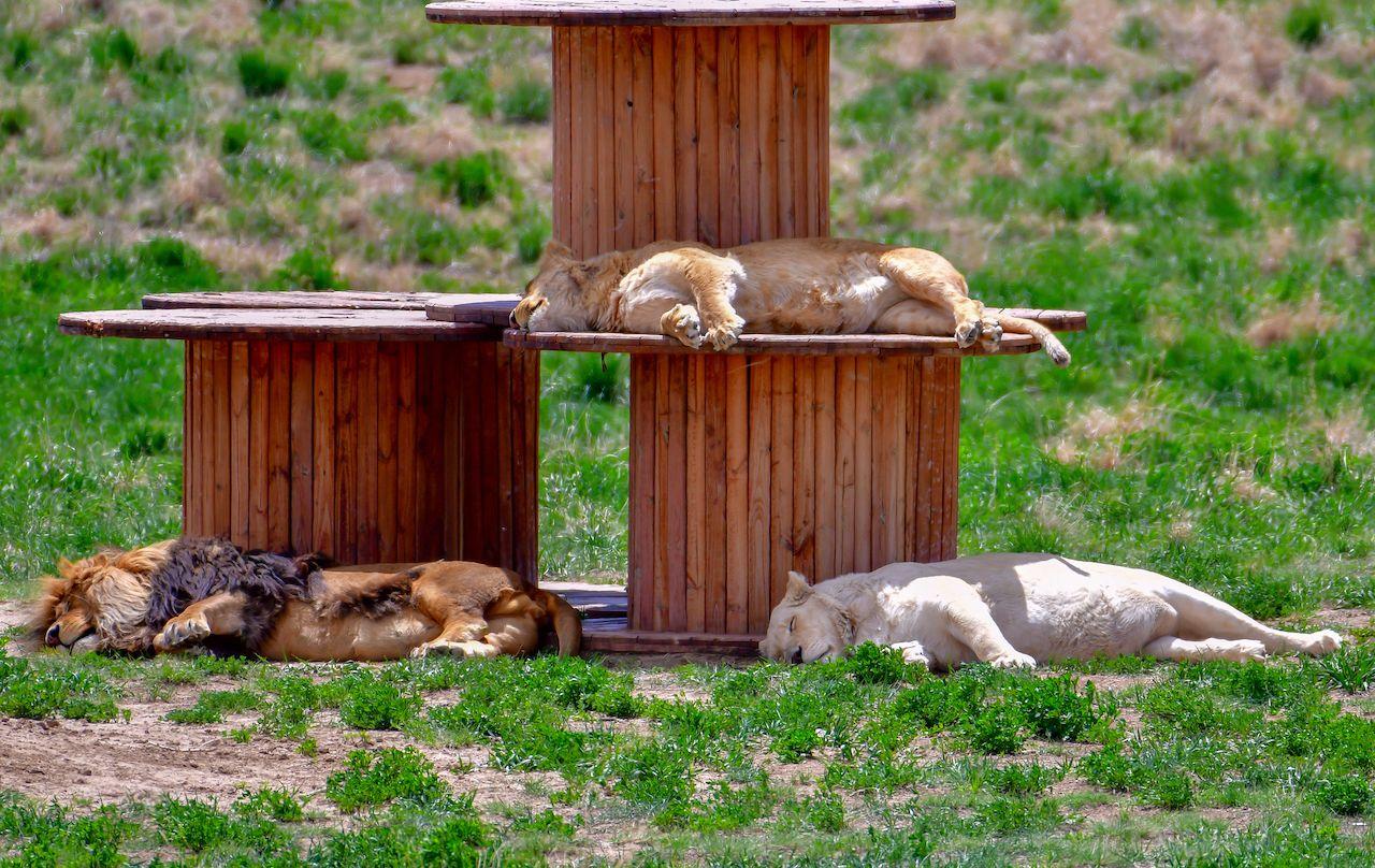 Wild Animal Sanctuary Lions