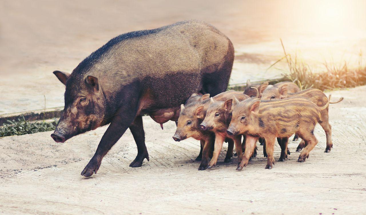 Wild boars in Haifa, Israel