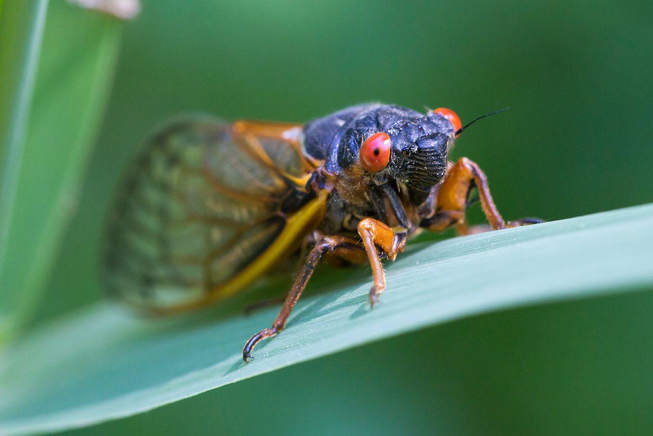 17-year cicadas emerging