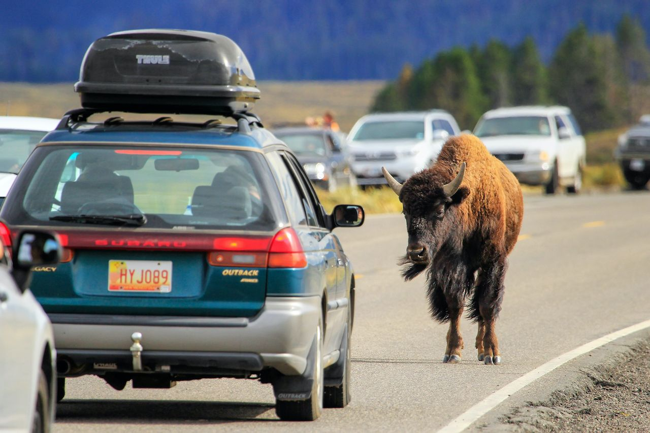 Bison attacks woman at Yellowstone