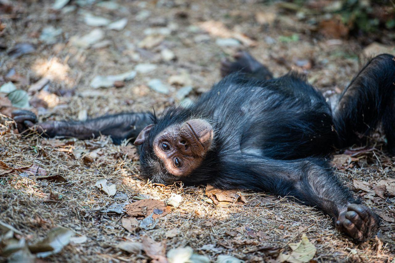Chimpanzee on the ground