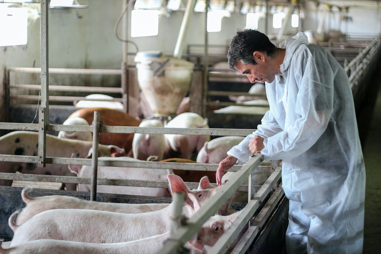Millions of pigs to be euthanized