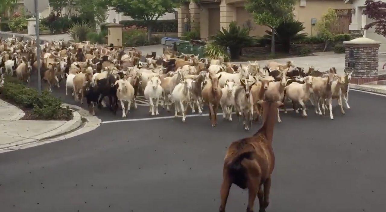 Goats escaped and ran, San Jose