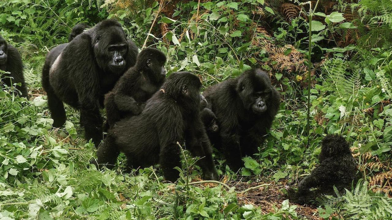 Gorilla footage