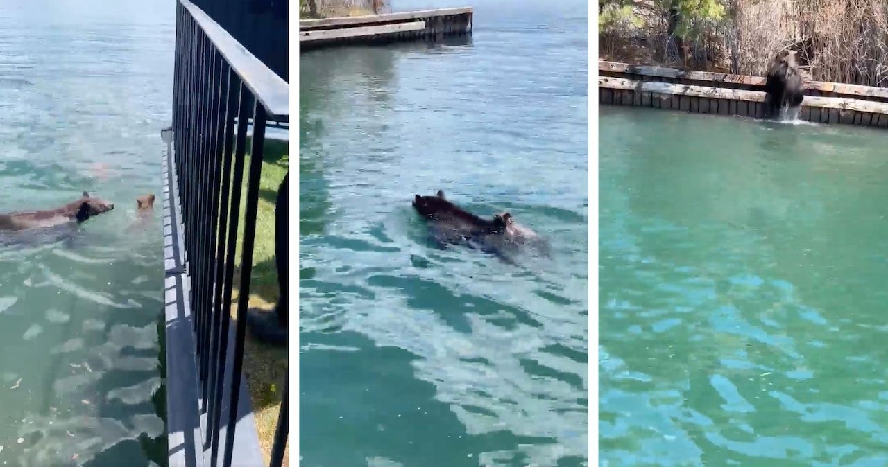 Mother bear saves cubs stranded