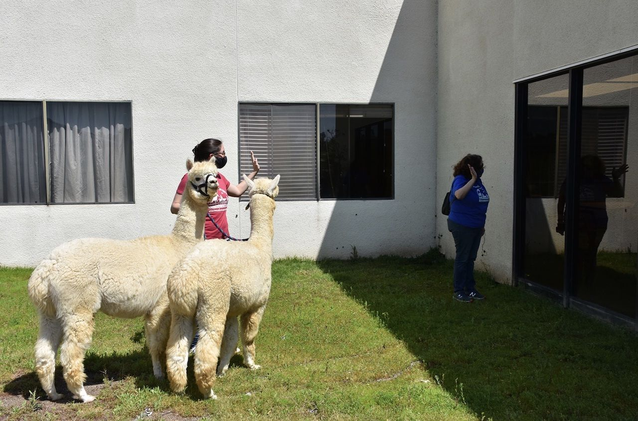 Therapy alpacas at CA nursing home