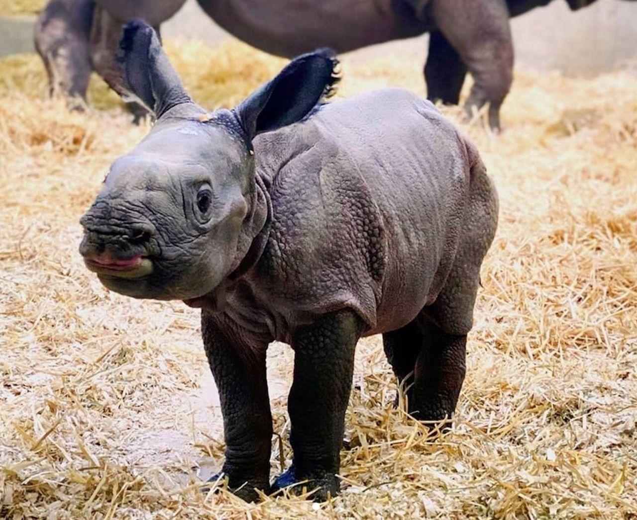 Denver Zoo baby rhino cam