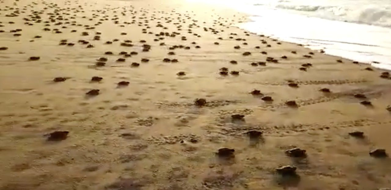 Baby turtles hatch in India