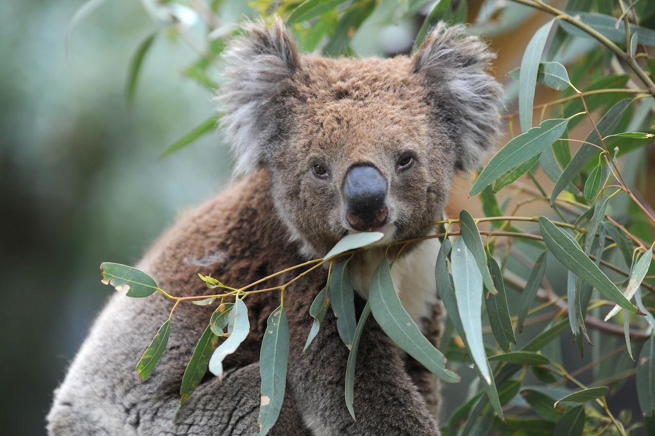 Koalas may be extinct by 2050 in NSW