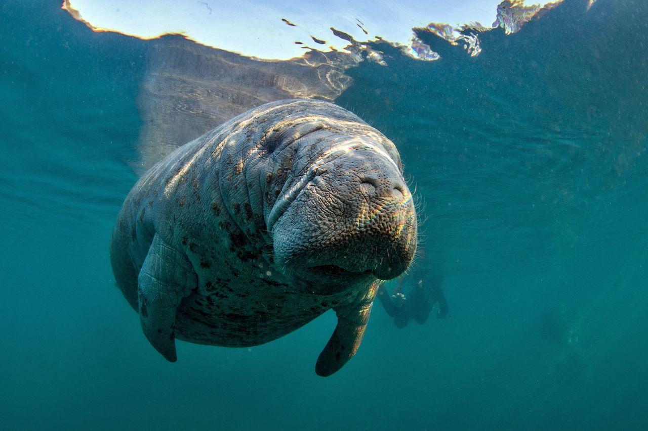 Florida manatee deaths increasing